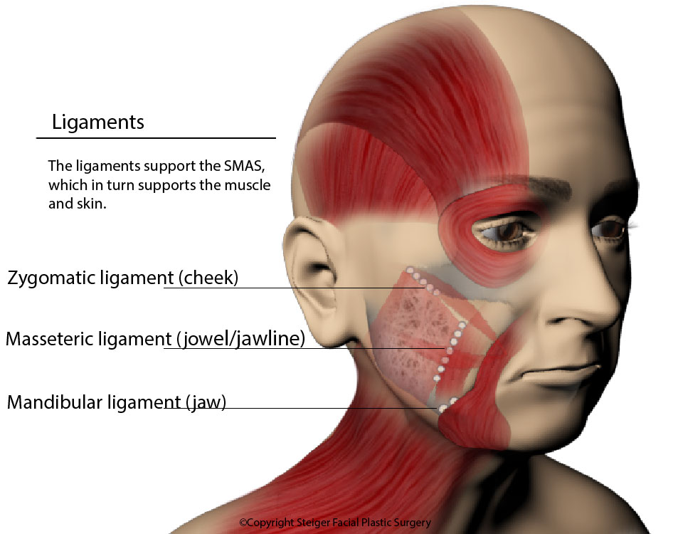 the ligaments of the face